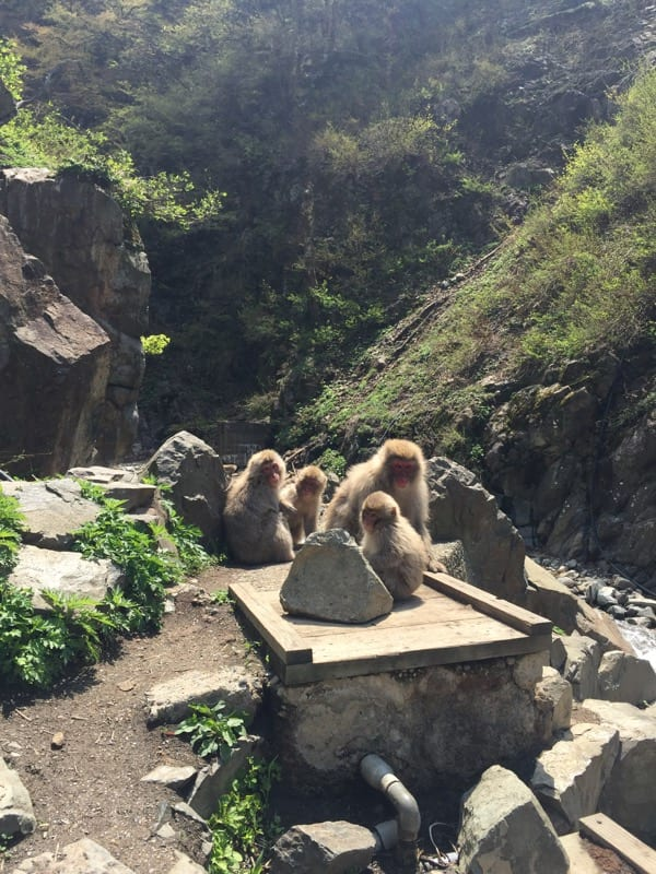 Snow monkey Japan yudanaka travel glasgow foodie explorers
