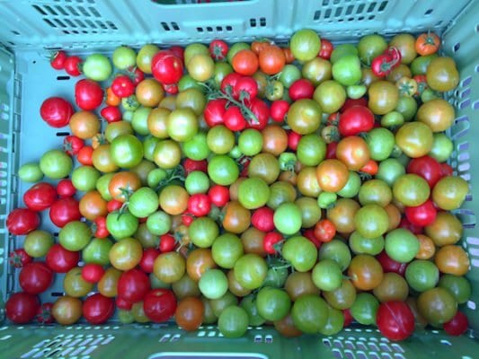 scotty brand tomatoes basket