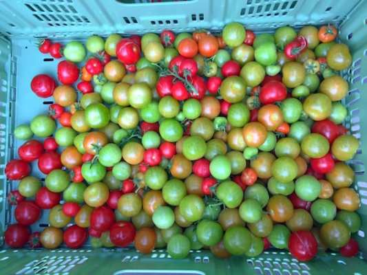 scotty brand tomatoes basket