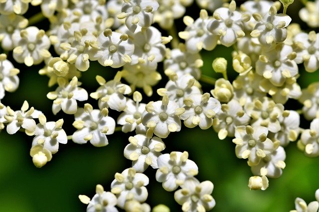 elder flower flower head