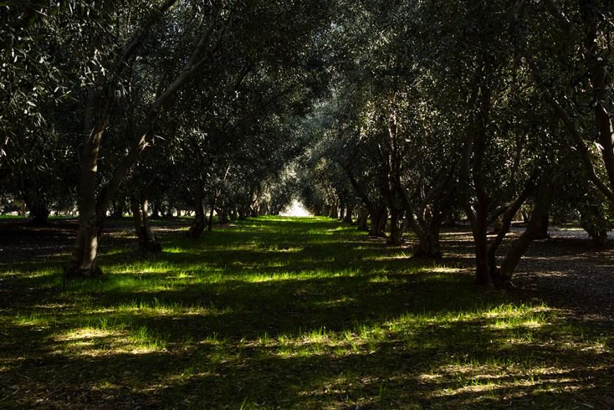 Dense olive grove in Temecula, California