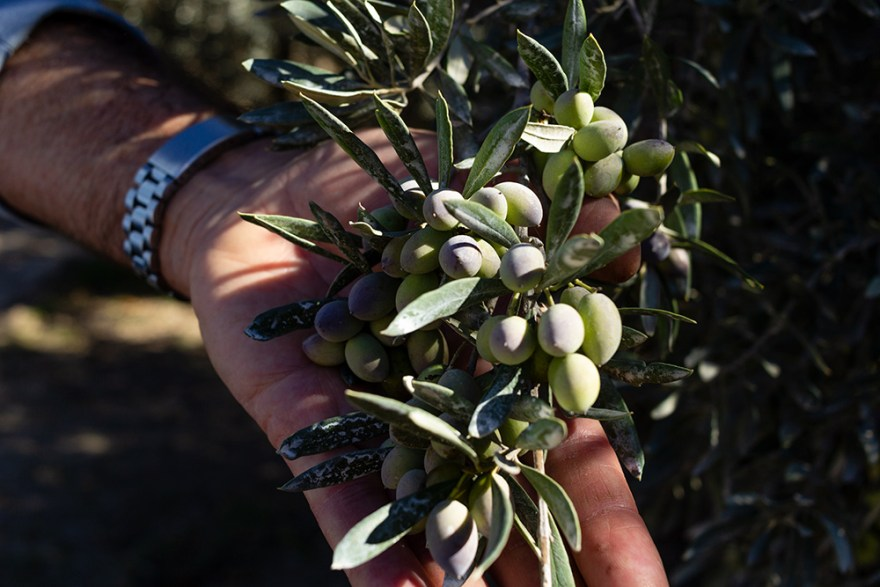 ripe olives on the tree