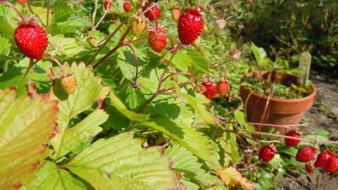 Alpine Strawberry by  quisnovus  via flikr