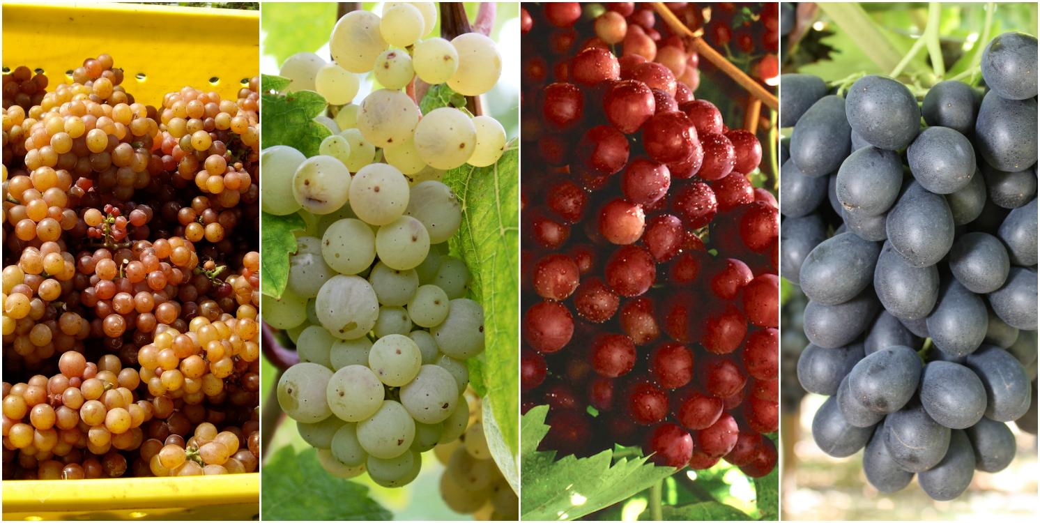 tipos de uvas para saber foto