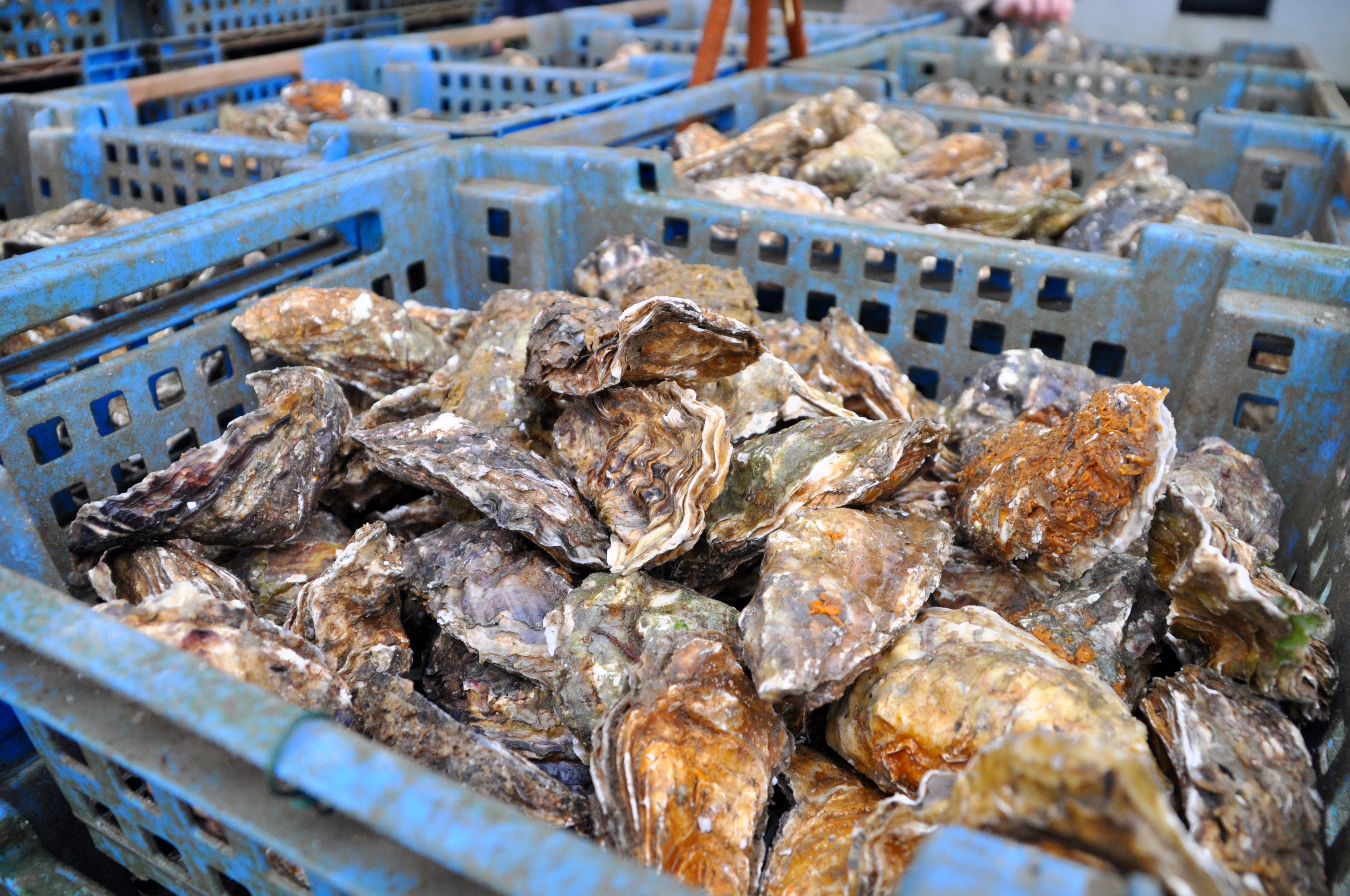 Oysters at the Prat Ar Coum farm.