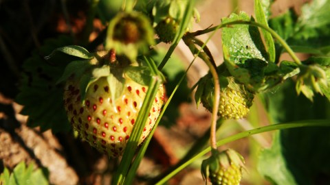 Green strawberry by  Quinn Dombrowski