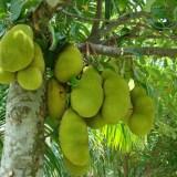 Jackfruit : Il frutto del futuro