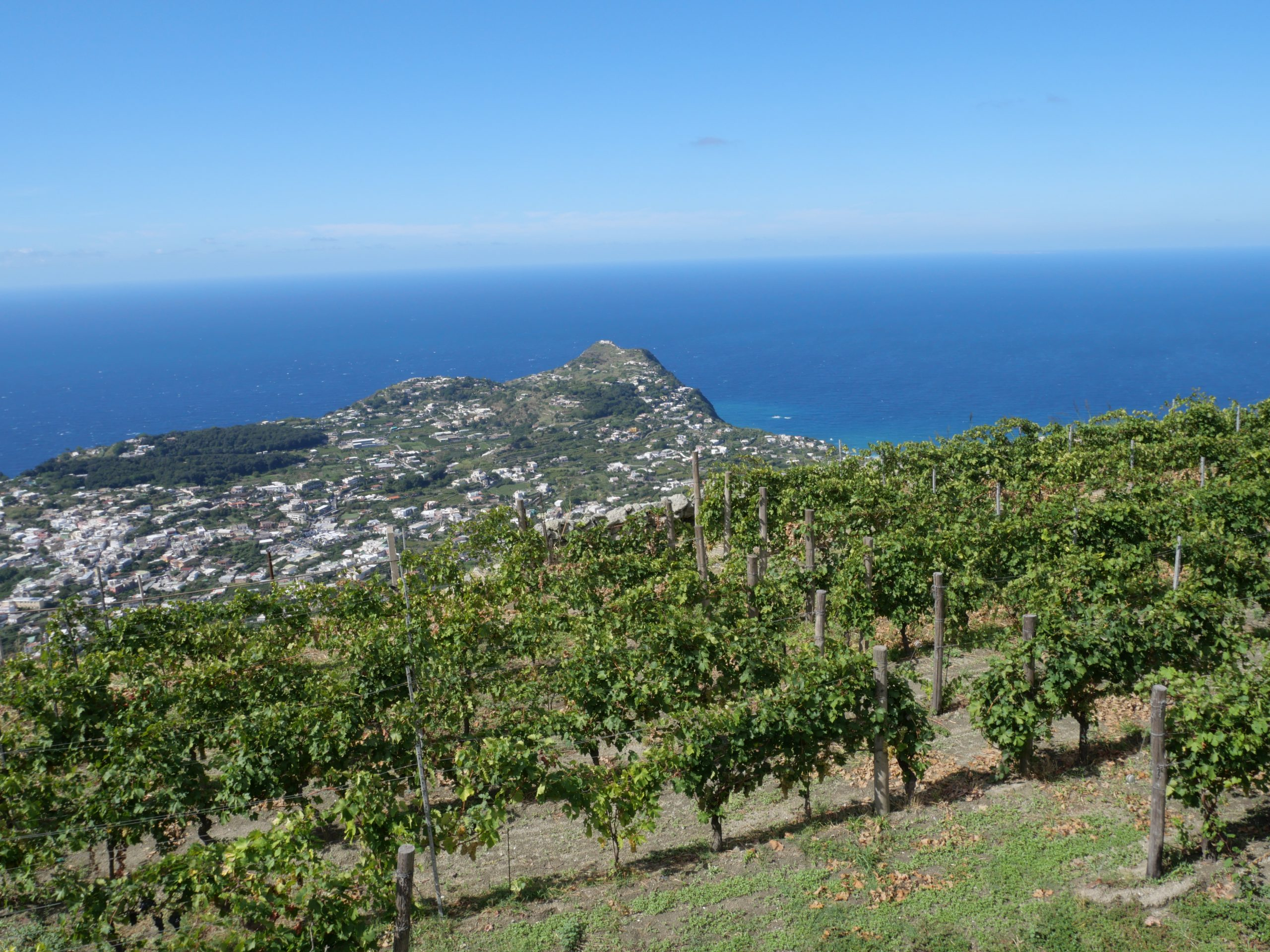 vineyards in Ischia