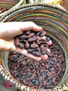 kakao bohnen aus dem tropenhaus