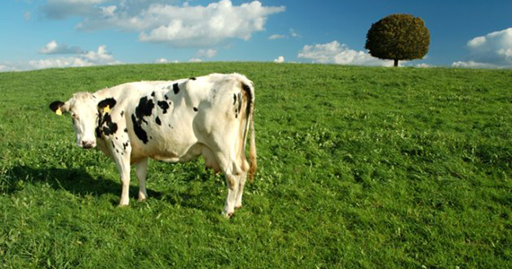 Getty Cow