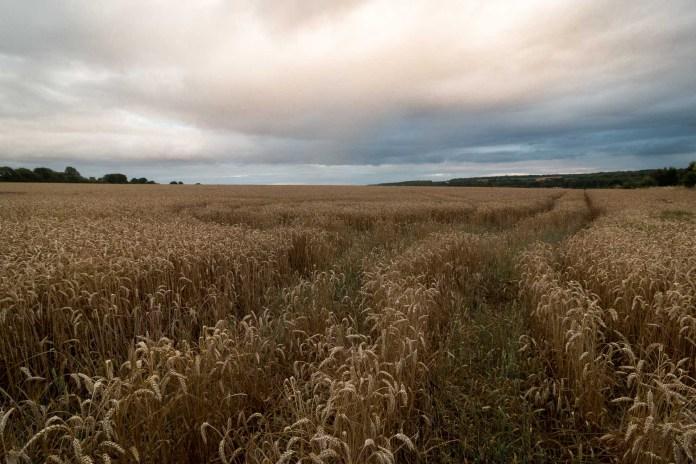 Le classique de l'été : les champs de blé en fin de journée