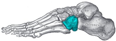 xcuboid foot bone395opt.png.pagespeed.ic.8q4XeUgXsa - Hueso cuboides Estructura