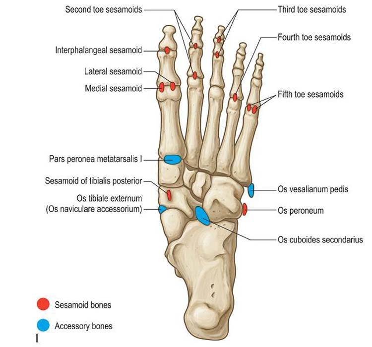 Accessory Bones Of The Foot Foot And Ankle Academy