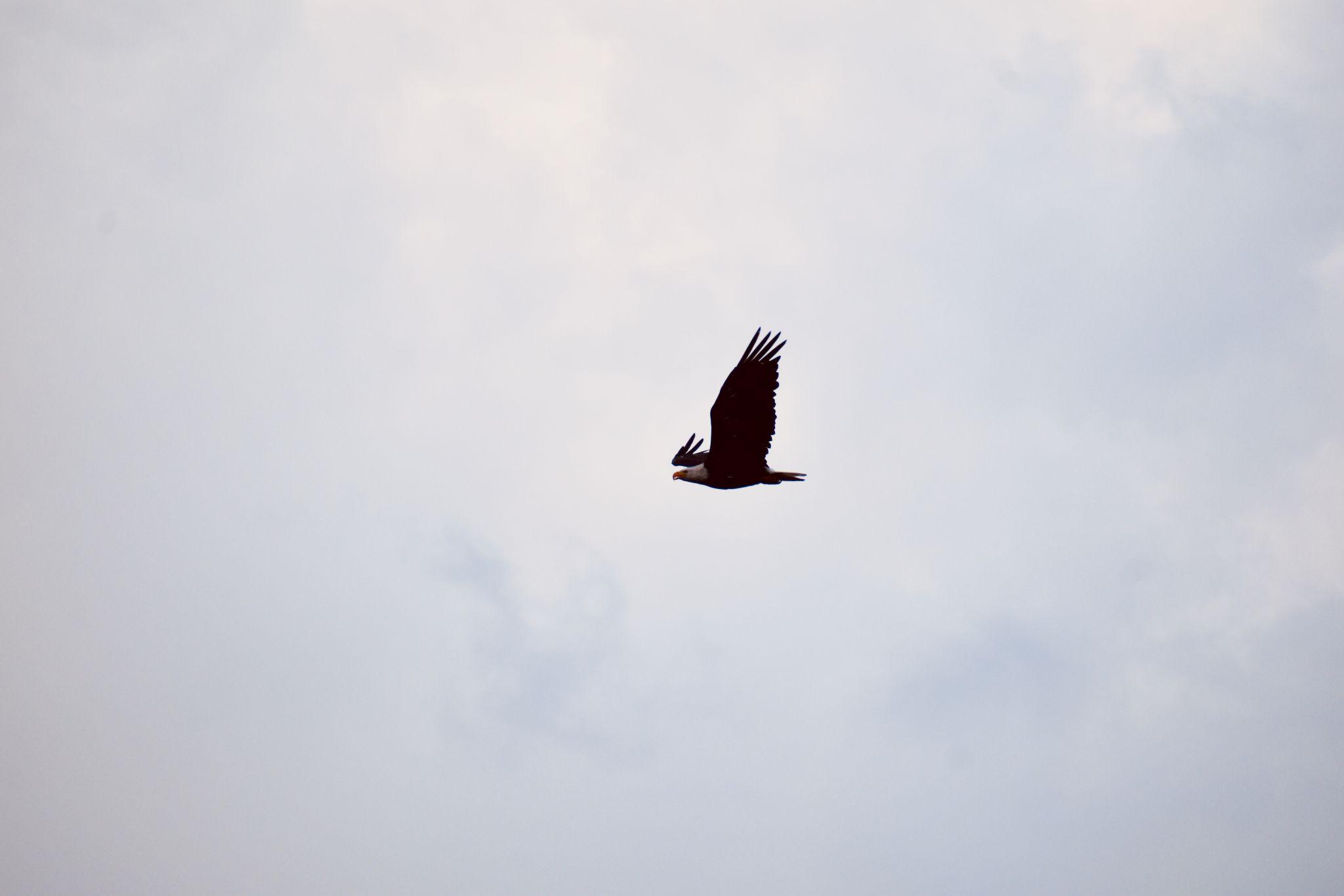 Bald Eagles in Idaho