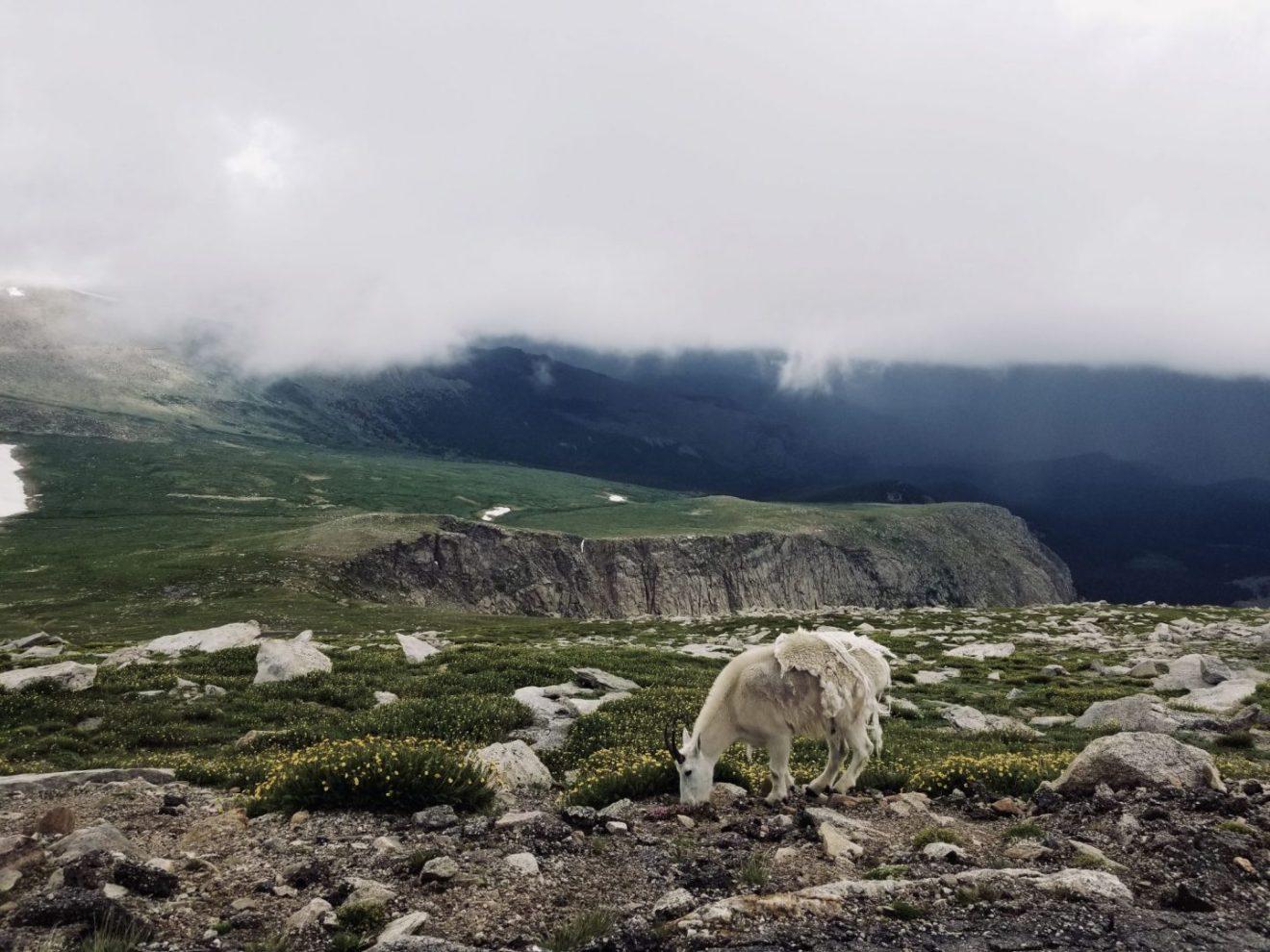 Mountain Goat on Mount Evans