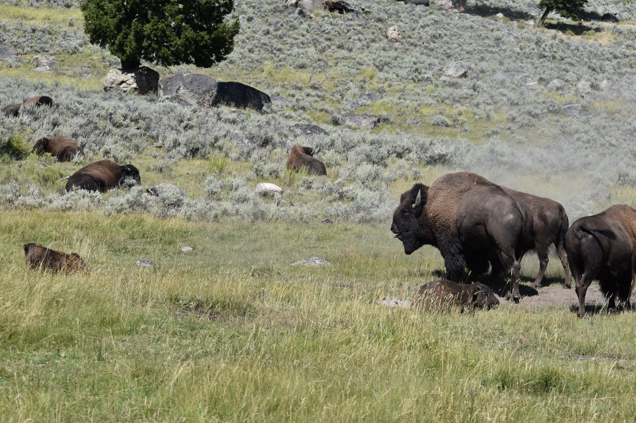 Yellowstone park Bison