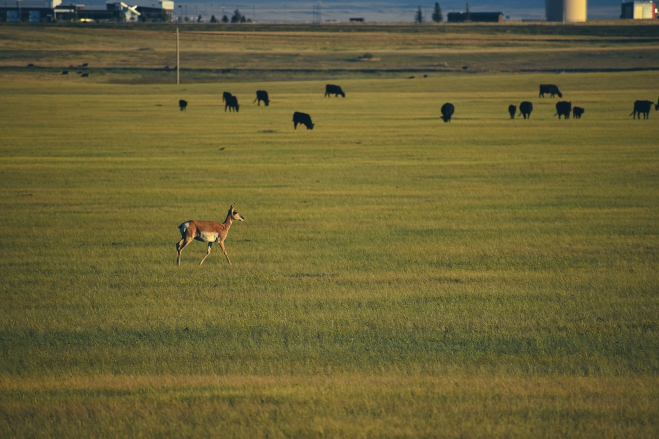 Pronghorns are north american animals related to the antelope in Africa. Pronghorn in field with cattle.