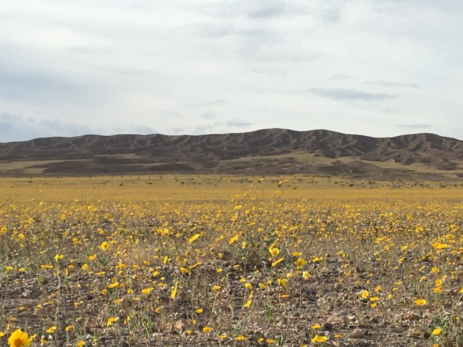 Death Valley Superbloom