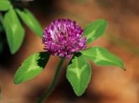 Sauteed Clover Leaf - Menu 3