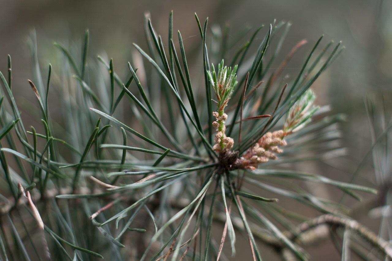 10 Reasons to Forage Pine Needles
