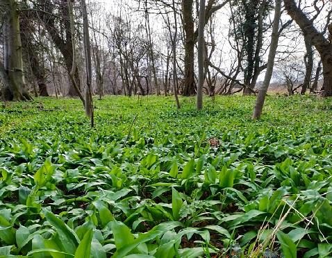 Wild Garlic in Woods