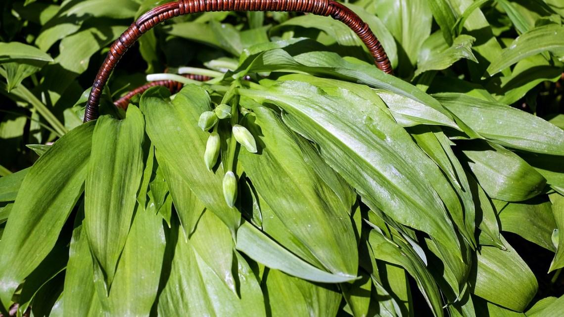 Wild Garlic – 12 Fab Facts & 6 Recipes