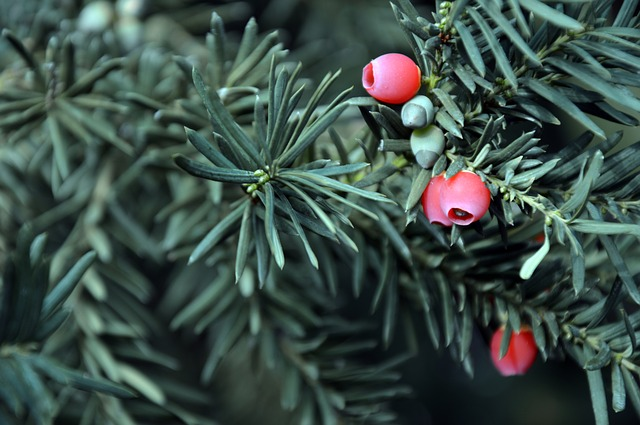 A Beginners Guide to Identifying Conifers - Yew