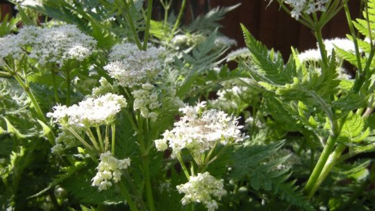 Sweet Cicely – Identification & Uses