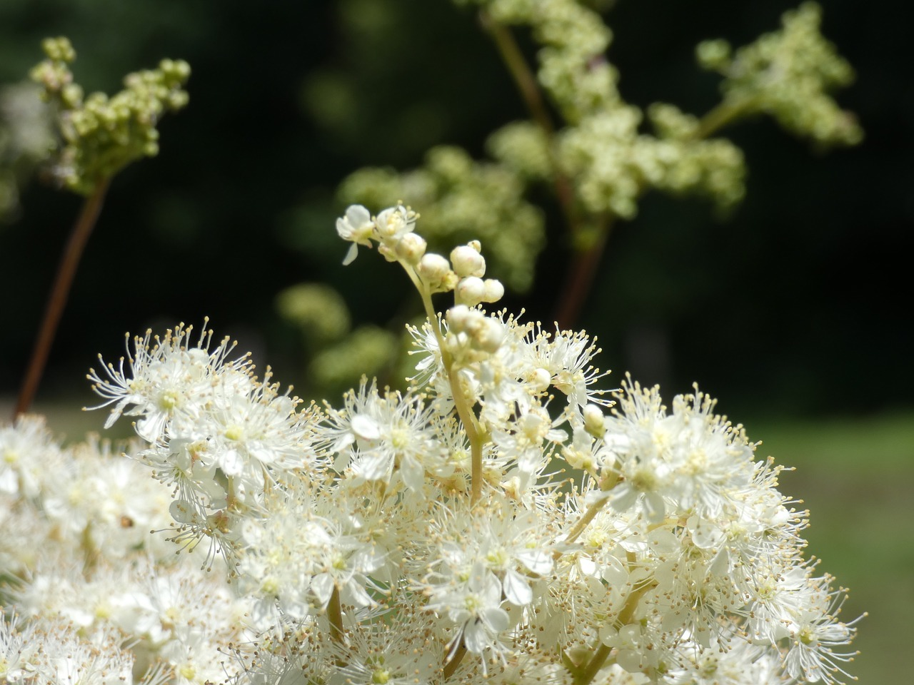 meadowsweet - Queen of the Meadows
