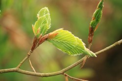 Beech Tree - Young Leaves