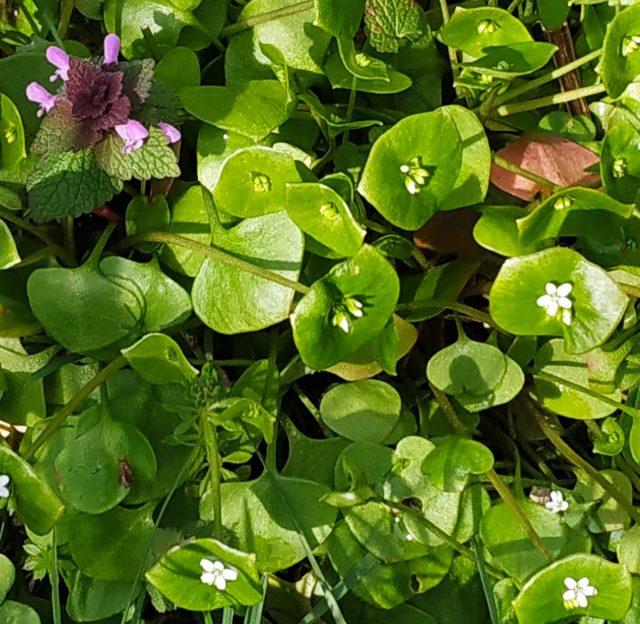 Claytonia perfoliata, Winter Purslane,  Miner's Lettuce