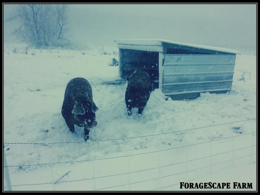 snow-pigs-2