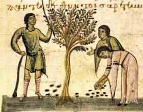 Zeytinin Kökeni