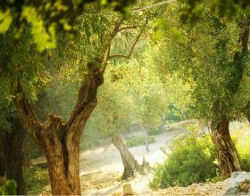 Zeytin Ağacı ile ilgili 7 Gerçek