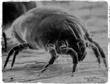 House_Dust_Mite (1)