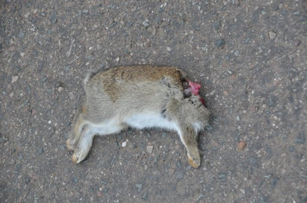 beheaded rabbit
