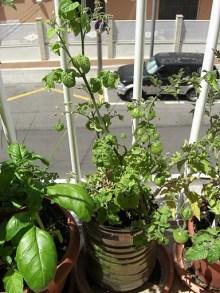 Tomates chibikko verdes