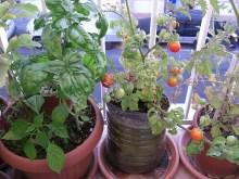 Tomates chibikko madurando