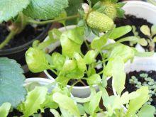 Plantas de espinacas