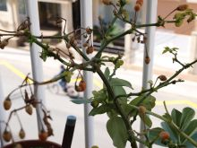 Plantas de chile amashito