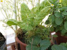 Planta de acelgas con manzanilla