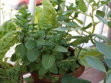 Planta de acelgas con hierbabuena