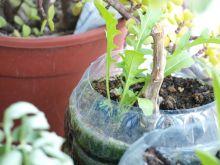 Planta de rúcula