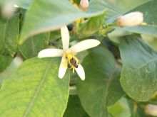 Flor de limonero con abeja