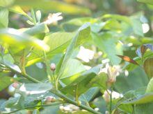 Flores de limonero