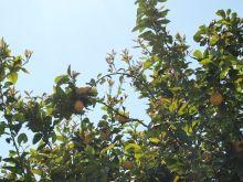 Limones del limonero