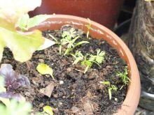 Zanahorias y albahaca
