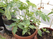 Tomatera cherry desconocida y albahaca