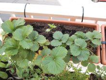 Jardinera de fresones y albahaca