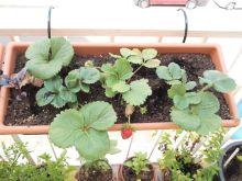 Jardinera de fresones y albahaca púrpura